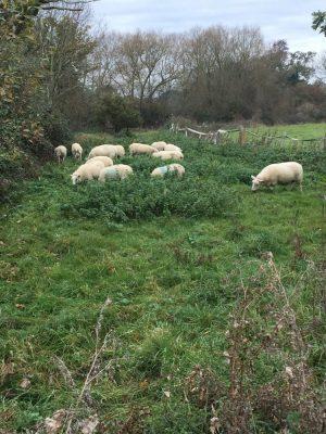 sheep-new-grass