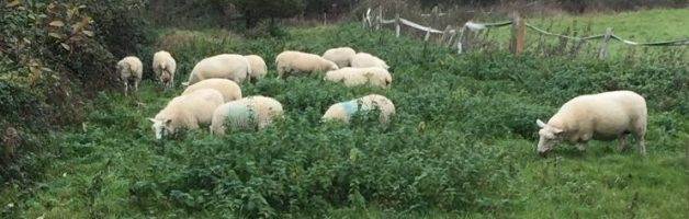 sheep-new-grass
