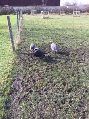 Feb-Guinea fowl in mud