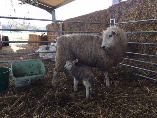 Unexpected Mum and lamb