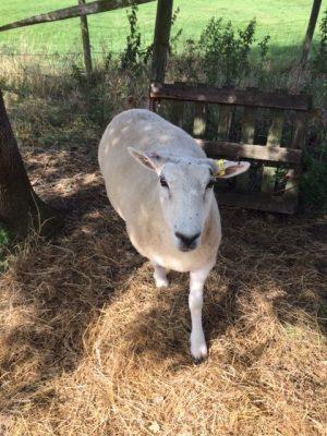 sheep 6