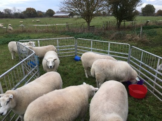 Sheep11