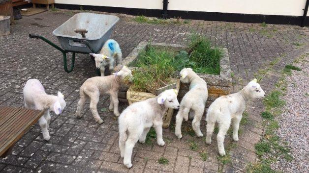 sheep blog 2