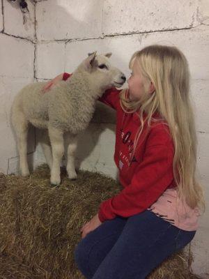 sheep blog 3