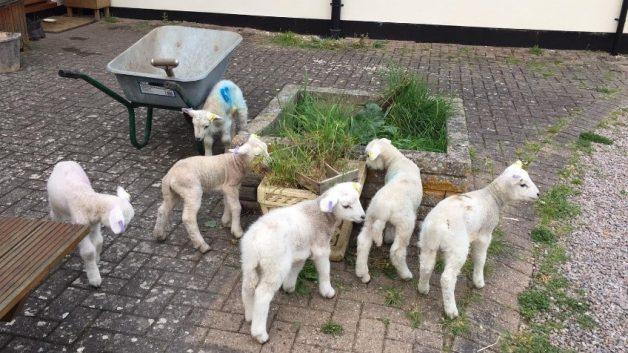 sheep blog 5