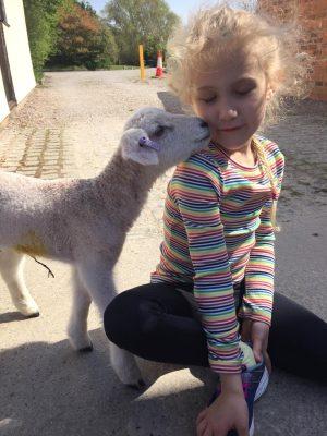 sheep blog 7