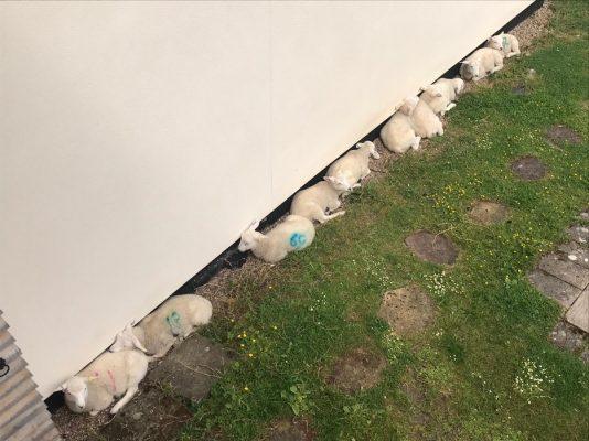 sheep blog 8